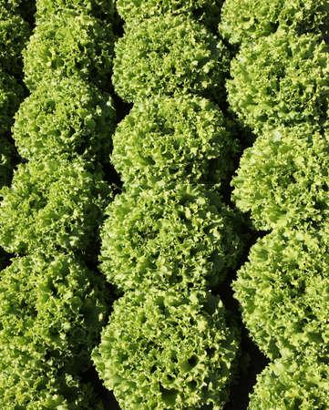 background of lush leaves of green fresh lettuce
