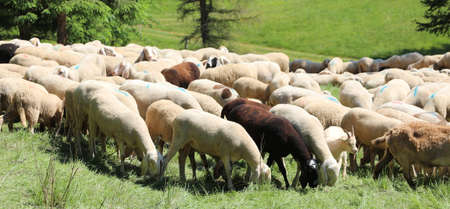 many sheep and lambs graze in a high mountain pasture