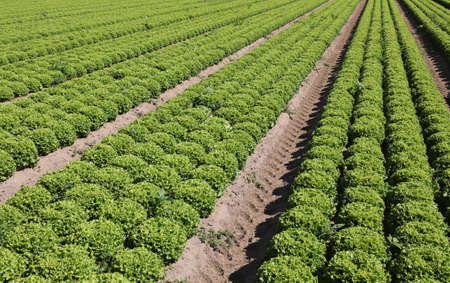 many tufts of green lettuce in a large field