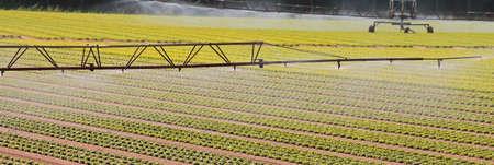 automatische Bewässerungsanlage auf dem angebauten Feld mit frischem Salat im Sommer Standard-Bild