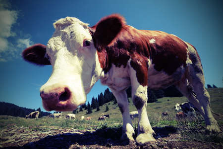 curious cow in the mountains by fisheye lens