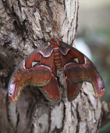 butterfly with brown wings camouflages itself on the bark of a tree  called Attacus atlas or Cobra Butterfly Archivio Fotografico