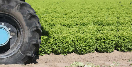 black tire of a tractor in the field of green lettuce