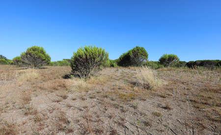 vegetation of maquis shrubland with sand called Macchia Mediterranea in Italian language Stockfoto - 134026721