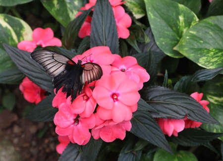 colorful spring butterfly sucks the sweet nectar from a pink flower immersed in the jungle