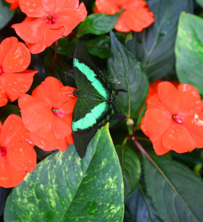 big butterfly on the plants called  impatiens walleriana
