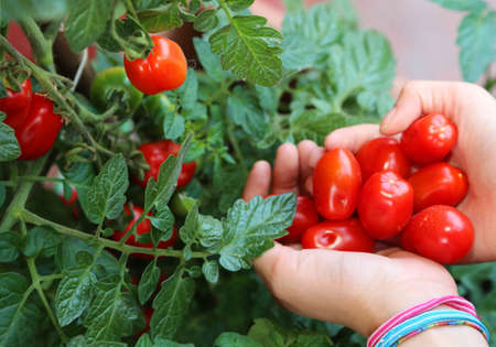 hand collecting red ripe tomatoes from the plant