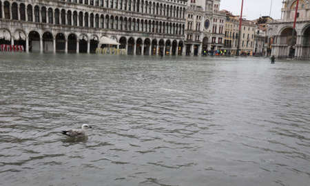 bird seagull on the water in Saint Mark Square in Venice in Italy during the tide