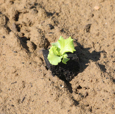 small delicate lettuce sprout on sandy soil symbol of life and rebirth Banco de Imagens