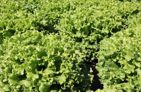 background of organic fresh lettuce with large leaves Banque d'images