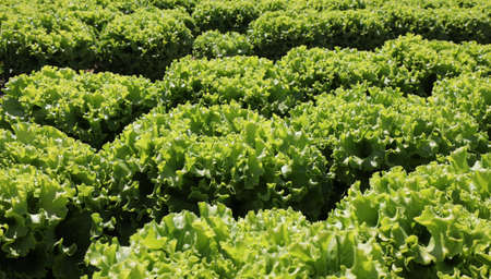 background of organic green lettuce with large leaves