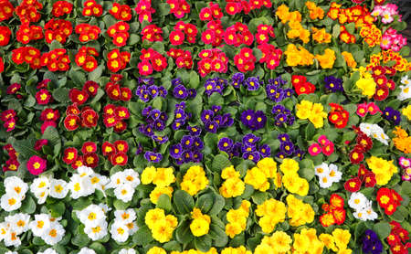 background with many pots of colorful primroses flowers in spring