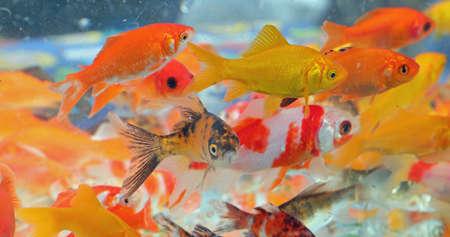 shoal of red fish for sale in the aquarium of the aquatic pet shop Stockfoto