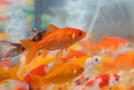 many orange goldfish swimming in the pet shop aquarium