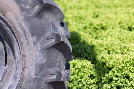 big black tractor wheel and cultivated field of lettuce during the harvest of vegetables Banque d'images