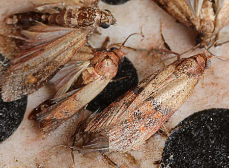 Indianmeal moth also called flour moth is an insect that infests cereal flours and pasta or dried fruit