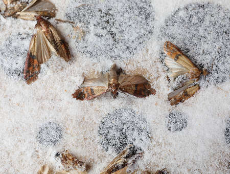 dead Indianmeal moths trapped in the trap are insects that infest cereal flours and pasta and dried food Standard-Bild