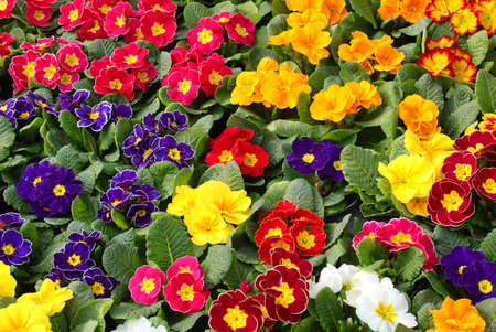 background of colored primroses flowers blossomed in spring