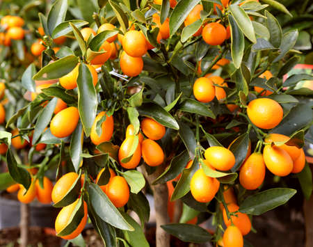 tree with many orange fruits calle kumquat  similar to clementines but smaller and very sweet to eat