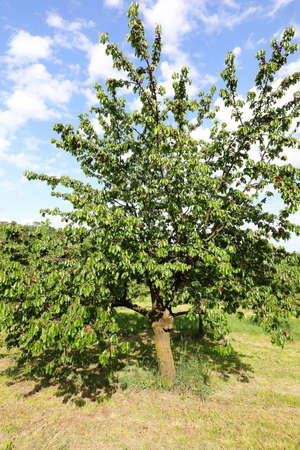 big cherry tree with many red cherries in spring