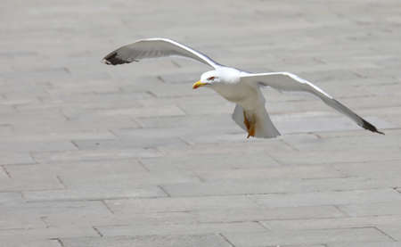 white seagull while landing in the urban square