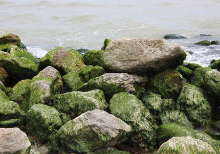 rocks covered with dry green algae during the low tide of the sea
