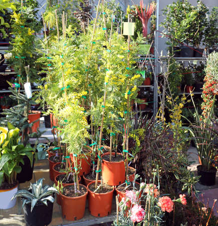 potted plants and beautiful mimosas sold at the market stall during the festival