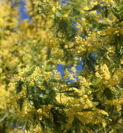 yellow mimosas flowers in spring
