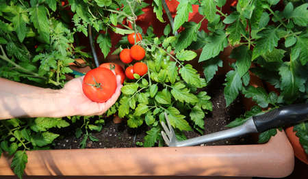 hand of the farmer with ripe tomato in the urban garden on the terrace of the house in the city 스톡 콘텐츠