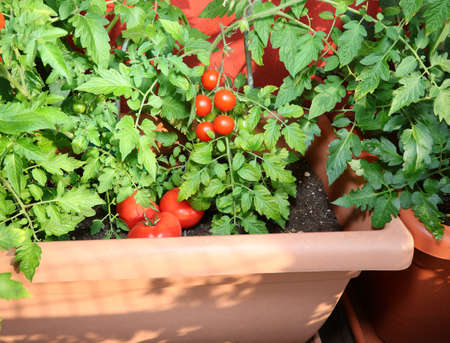 red ripe tomatoes plant on the terrace with the pot on the urban garden