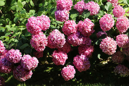 hydrangea flowers in a garden of an apartment building in summer