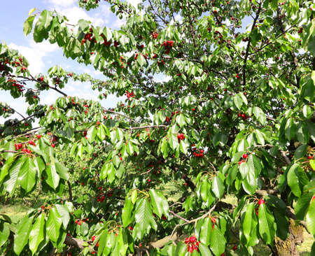 ripe cherries on the tree in spring ready to be harvested sold at the vegetable market Foto de archivo