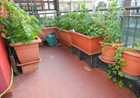 pots of tomato in the terrazza of an house in the city withput people Foto de archivo