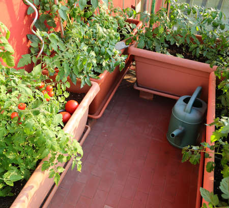 Urban garden with tomato plants on the big pots in the city