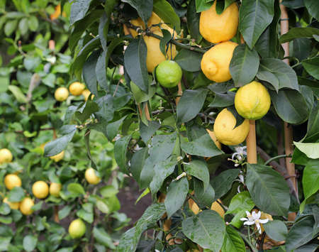 yellow ripe lemons on the lush plants of a wide citrus grove