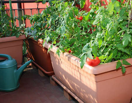 tomato cultivation in an urban vegetable garden on large plastic pots on the terrace of the city apartment Foto de archivo