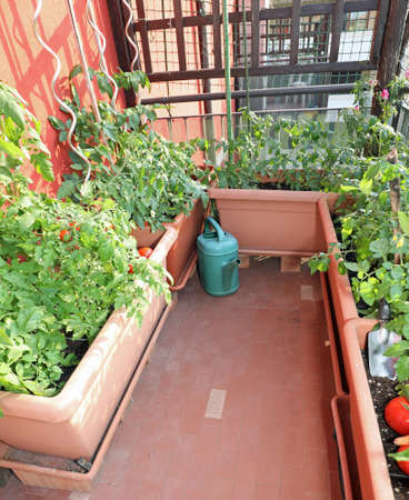 urban farming or urban gardening in the city with pots of tomato in the terrace of an house