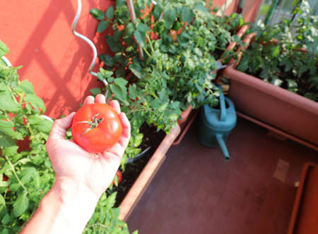 Farmer hand with a red tomatoes and pots for urban cultivation in the terrace of his home in the city