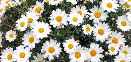 background of many white daisies in spring