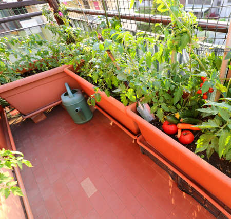 sustainable agriculture in the urban garden made of large pots on the terrace  in the city with tomato plants