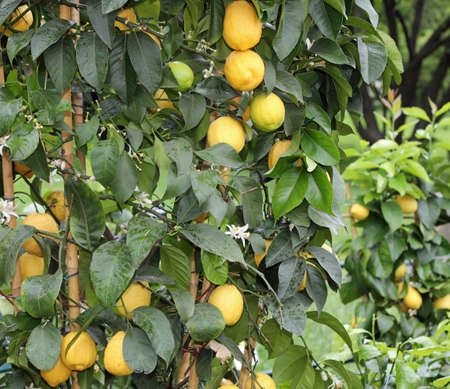 yellow lemons on the lush plants with green leaves in the citrus garden Foto de archivo