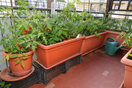 Example of Urban agriculture or  urban farming or urban gardening in the city with pots of tomato in the terrace of an house Foto de archivo
