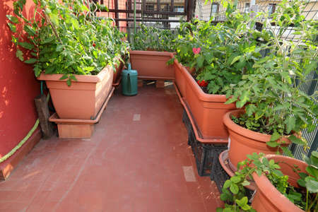 urban garden for the cultivation of vegetables inside flower pots on the terraces of the city Foto de archivo