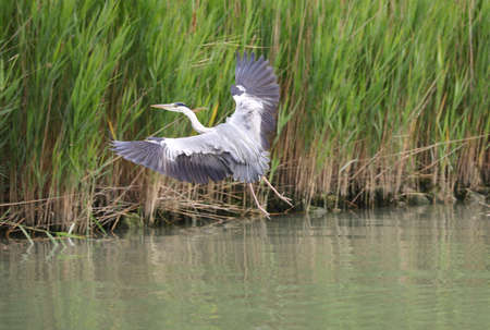 bird called grey heron or ardea cinerea on the pond while flying Imagens