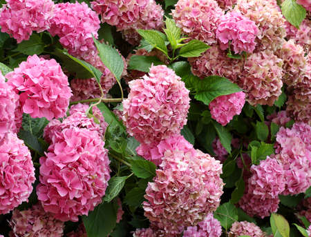 background of many large hydrangea flowers of fuchsia and pink color in spring Archivio Fotografico