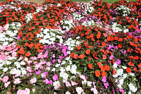 Blooming flowerbed in summer with colorful little flowers called impatiens walleriana or busy lizzie 免版税图像