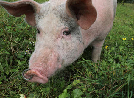 fat pig with a nose ring and staring at the camera