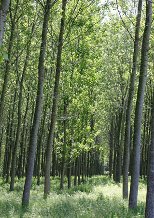Poplar grove with many trees planted to obtain cellulose for the paper industry Foto de archivo