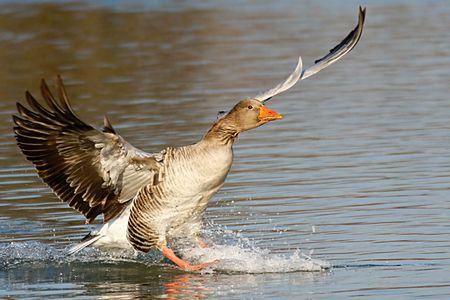 natura: Greylag goose landing in the Venetian lagoon