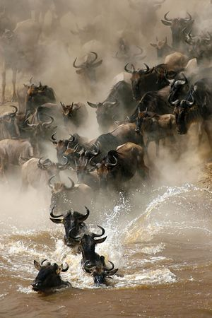 natura: More than a million wildebeests migrates every year between Masai Mara NP and Serengeti NP. In their journey they cross several times Mara River, even some hundred thousands a time.